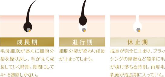 眉毛の成長サイクル